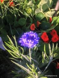 crn flower sprint flower