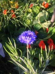 corn flowers in garden