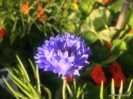 blue corn flowers