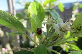 Coccinellidae on apple tree