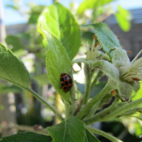 Coccinellidae on apple tree