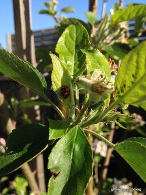 lady bug eats aphids