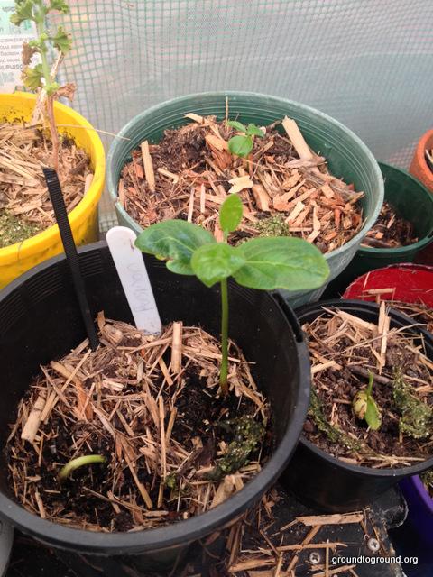 persimmon-seedling