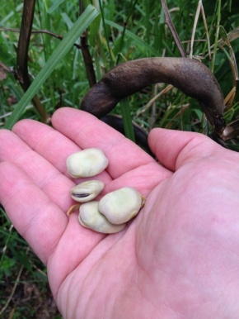 Saving Broad BeanSeeds