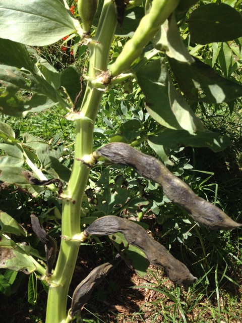 dried-broad-beans