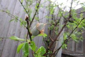 First Fruit on Almond Tree
