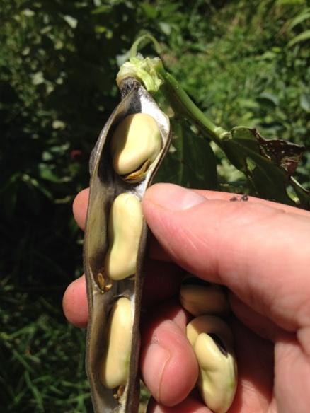 open-pod-seeds