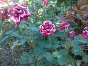 Roses versus Heatwave