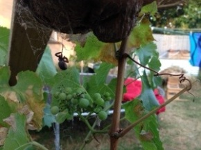 Spider and the Grape Vine