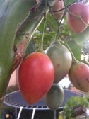 Fruit tree Tamarillo