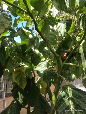 Tamarillo Fruiting