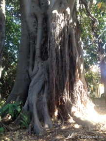 A monster fig tree