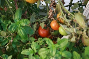 What my Tomatoes taught me about Investing.