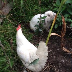 Chicken Versus Rabbit