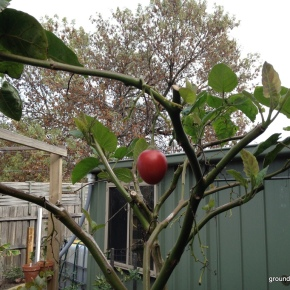 Tamarillo Tree following – May 2014