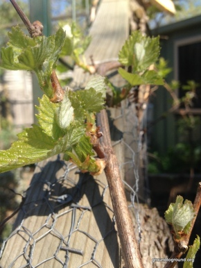 The Unravelling of Grapes inSpring