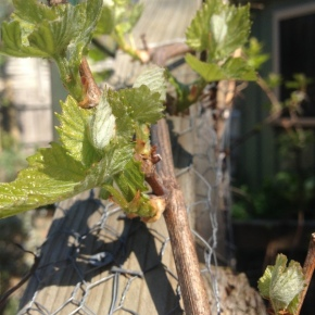 The Unravelling of Grapes in Spring