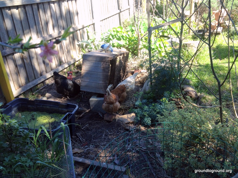 Chickens eating insects
