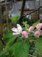 Gala Apple Tree in Flower