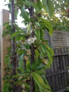 Cherry tree starting to set fruit