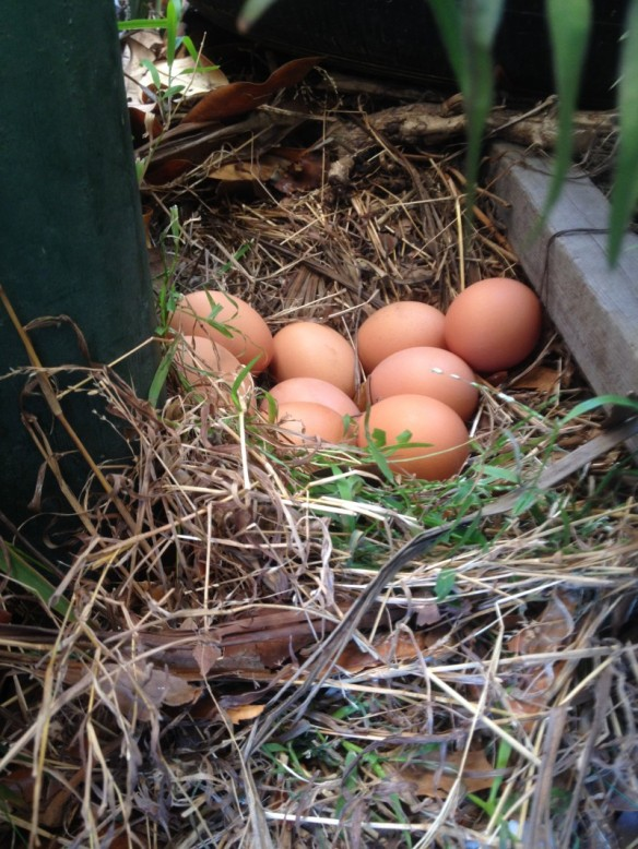 Hidden chicken eggs rather than the nest