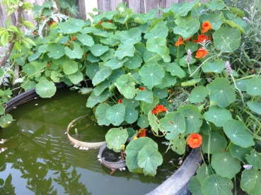 Nasturtium plant growing over a tire pond