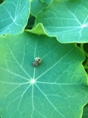A Spider curling up on a nasturtium leaf