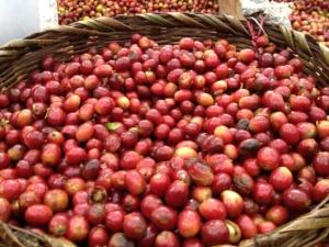 Bowl of Coffee Cherries