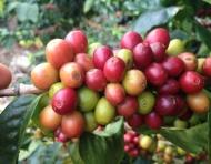 Coffee Cherry_1