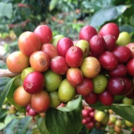 Coffee Cherry_1