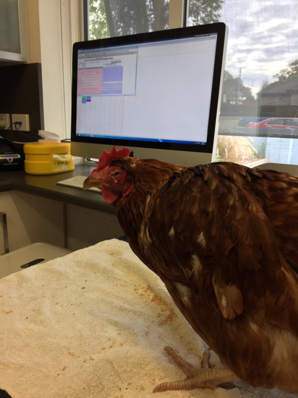 a sick chicken swollen head