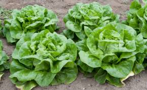Autumn Lettuces for Urban Gardeners (from the London Garden)