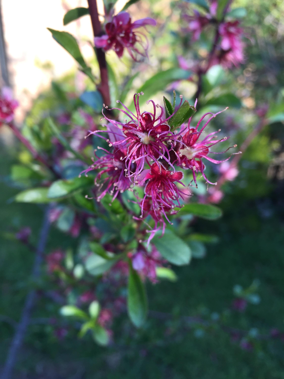 peach -flowering