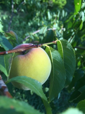 Peach tree from seed