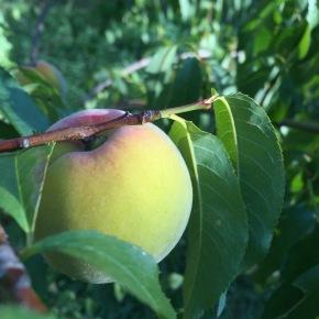 Peach tree fromseed