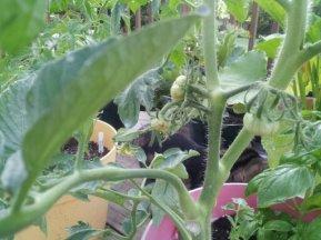 tomato plant 3
