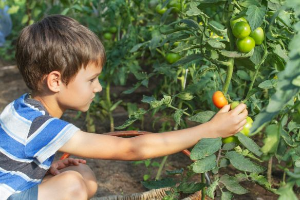 kid picks tomatoes