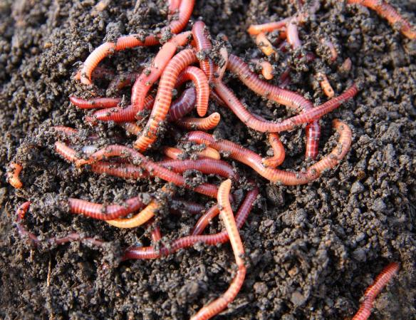 Red Wigglers compost worms
