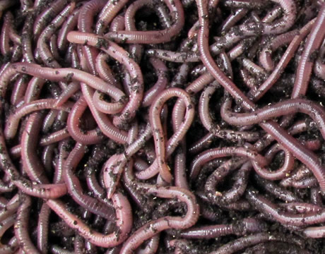 African Nightcrawlers compost worms