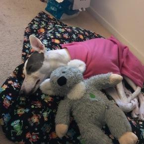 Winter… here is a sleepinggreyhound!