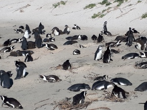 African Penguins are Grounded!